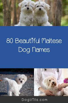 great names If you're looking for Maltese dog names, you're going to love our list! We have 80 beautiful ideas inspired by the breed and their origin! Girl Dog Names, Puppy Names, New Puppy, Puppy Love, All About Puppies, Pharaoh Hound, Most Popular Dog Breeds, Great Names, Maltese Dogs
