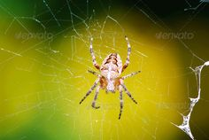 Garden Spider ...  Garden Spider, animal, arachnid, closeup, cobweb, creepy, cross, hairy, insect, macro, nature, scary, spider, spider web, spiderweb, trap, web, wildlife