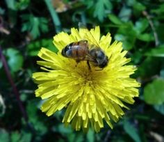 20 Dandelion Cooking Recipes – Wine, Bread, Syrup, Soup, Pancakes and more »