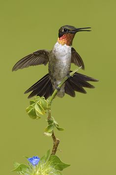 The tiny Ruby-throated hummingbird can cross 800 km (500 mi) of the Gulf of Mexico on a nonstop flight.