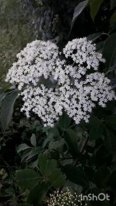 Hydroponic Gardening, Hydroponics, Queen Anne's Lace Flowers, Herb Art, Tall Plants, Elderflower, Types Of Plants, Small Gardens, Growing Plants