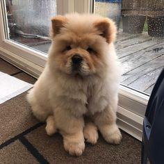 Dog Wallpaper, Dog Wallpaper for iPhone, Dogs Wallpaper, Lovely Fluffy Dog Fluffy Dogs, Fluffy Animals, Cute Baby Animals, Animals And Pets, Perros Chow Chow, Chow Chow Dogs, Puppy Chow, Baby Puppies, Cute Puppies