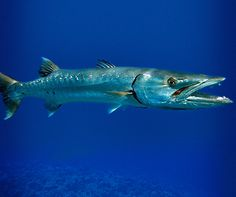 The barracuda is a powerful and efficient fish and usually swims around outer reefs in French Polynesia and also can be seen gathering in gigantic schools in the Tuamotus islands. On dives in Toopua in Bora Bora and The Canyons in Moorea, divers can observe barracuda.