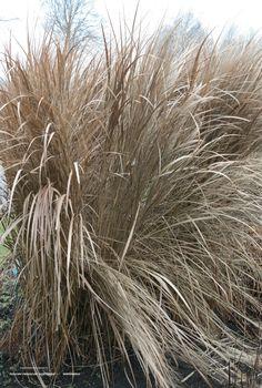 Panicum virgatum 'Northwind', vingergras, .150 hoog, bloeit juli-okt, goed winterhard en mooi winterbeeld.