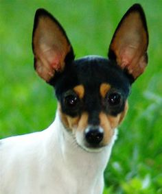 Toy Fox Terrier • They are small, but fearless, very trainable and love to play. Great little dogs.