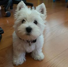 Westie Puppies, Westies, Dogs And Puppies, Bichons, Doggies, Cute Little Puppies, Cute Puppies, Cute Dogs, Beautiful Dogs