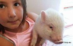 """Un chasseur """"bute"""" un cochon domestique !"""
