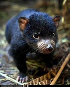 Baby Tasmanian Devil (via ICanHasCheezburger)