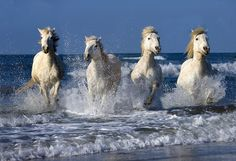 Wild Horses of the Camargue, Provence, France ~ Photo by Jim Zuckerman on 500px