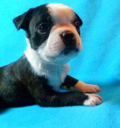 Cute Charlie Boston Terrier 5 weeks old