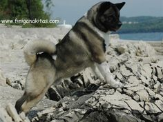 This ia a Japanese akita but a Dutch Keeshound looks like this with better nicer personality! and much much longer fluffball fur, like our Hans who lived til old age, he is in heaven