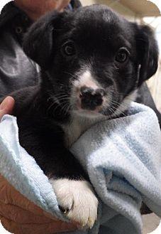 St.Ann, MO - Labrador Retriever/Border Collie Mix. Meet Kat a Puppy for Adoption.