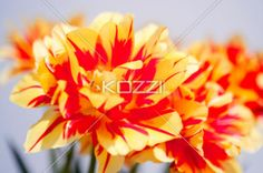 flowers against solid background - Red and yellow tulips opened up agasint a white background