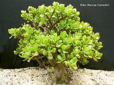 Crassula ovata, Planta Jade ou Bálsamo de Jardim.