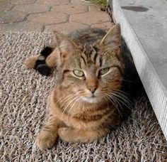 #kattin #VERMIST regio #Tremelo. Cleo. Contact: katrien.schelfhout@cycluspro.net  0479.82.43.34 Katrien Schelfhout https://www.facebook.com/katrien.schelfhout.7 Klein van gestalte, mankt met haar rechterpootje, schouder steekt een beetje uit. We missen haar enorm. Verdwenen in de buurt van het vondelpark. Het is een kattinneke maar niet gechipt.