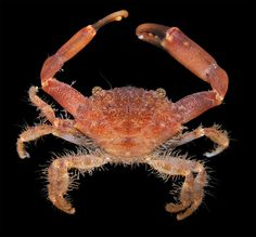 https://flic.kr/p/rg8x8 | Xanthid crab from Fiji
