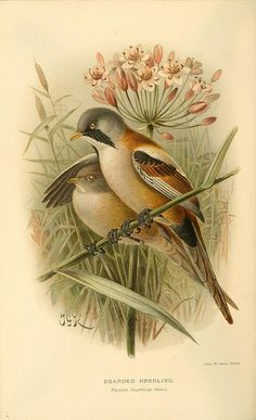 jomobimo: Bearded Reedling, Coloured Figures of the Birds of the British Islands / issued by Lord Lilford, 1885-1897