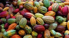 Risultati immagini per cacao