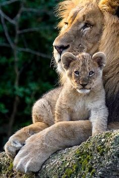 The sweet side of wild cats - 65 photos of the world of big cats - Archzine. Big Cats, Cats And Kittens, Cute Cats, Lion Pictures, Cute Animal Pictures, Beautiful Lion, Animals Beautiful, Nature Animals, Animals And Pets