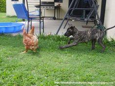 Información sobre la raza de perro Gran Danes. Espero os guste mi nuevo post. http://listadoderazasdeperrosygatos.blogspot.com/2013/01/raza-gran-danes.html http://listadoderazasdeperrosygatos.blogspot.com