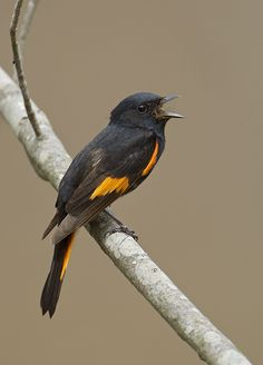 The American Redstart - Setophaga ruticilla, is a New World warbler. This species breeds in North America, across southern Canada and the eastern USA. Photo by Robert Royse.