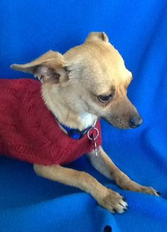 Peanut is really friendly and gets along great with other dogs. He is about 1 and 1/2 years old and around 8lbs. Sweet little boy is looking for a wonderful family to call his own. If you would like to meet Peanut please call 707-263-5305 or e-mail...