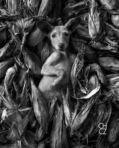 Mexican Hairless Dog, Mexican Style, Nature Animals, Love Pictures, Chicano, Cute Puppies, Dog Cat, Cute Animals, Creatures