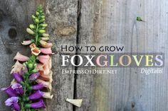 How to grow foxgloves - a favourite, beautiful, romantic flowering plant