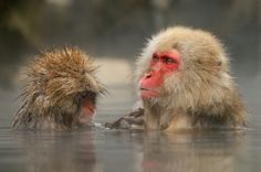 Punk grandson and grandpa Japanese Macaques aka Snow Monkeys together in a hot tub at Jigokudani hotspring in the mountains near Nagano, Honshu, Japan. The youngster does clean his Grandpas fur of fleas . Best regards and have a nice weekend, Harry Japanese Macaque, Weekend Fun, Primates, Fleas, Old World, Animals Beautiful, Snow Monkeys, Punk, Cats