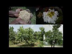 Medicinal Rice B4 Formulations for Disfigurement: Pankaj Oudhia's Medici...