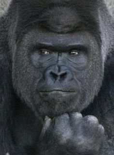 Gorila causa sensación entre japonesas… es muy apuesto, dicen