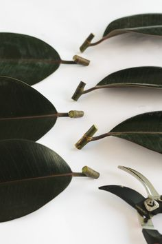 Watering a Rubber Plant- How often how much and when to water your rubber plant. - Vintage Revivals Watering a Rubber Plant- How often how much and when to water your rubber plant.