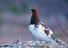 """Alaska: Willow Ptarmigan.  The """"founders of Chicken"""" originally  wanted to name the community """"Ptarmigan""""...but no one knew how to spell it....and so they settled on naming it """"Chicken""""...lol."""