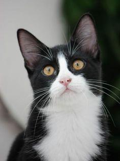 SOFIA - Gato adoptado - AsoKa el Grande