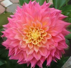 Kagane Fubuki  Dahlia Tuber by DavesDahlias on Etsy