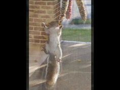 The squirrel knows.... corn is meant to be eaten whole! Lose Weight - Say NO To High Fructose Corn Syrup! www.FoodTips.com
