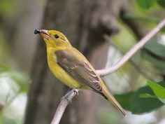 Female Scarlet Tanager - Maumee Bay State Park, Magee Marsh (May 16, 2014)