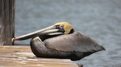 This brown pelican finds his balance on the edge of the dock.