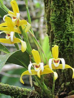 Maxillaria angustisegmenta | por DERALU