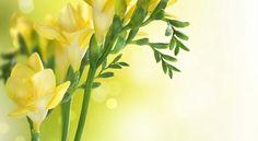 Freesia (yellow)