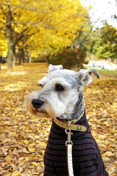 Ein by Terry #Miniature #Schnauzer