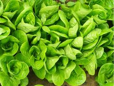 Little Gem Lettuce: Gardenista