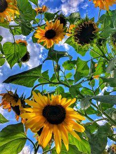 Happy Flowers, My Flower, Flower Power, Wild Flowers, Beautiful Flowers, Sun Flowers, Sunflowers And Daisies, Sunflower Pictures, Sunflower Wallpaper
