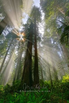 """500px / Photo """"Radiance"""" by Phillip Noll; Del Norte Coast Redwoods State Park, California"""
