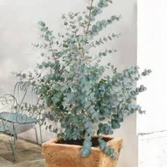 ideas french patio garden potted plants for 2019 Potted Trees, Potted Plants, Indoor Plants, Garden Trees, Garden Pots, L Eucalyptus, Eucalyptus Plant Indoor, Eucalyptus Centerpiece, Eucalyptus Shower