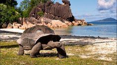 tartaruga gigante animais em extinção