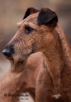 Portrait eines Irish Terier Rüden von fotoARTstudio