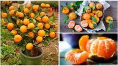 ¡Lo fácil que es cultivar mandarinas en maceta de plástico! Es tan sencillo hacerlo que solo perderás 15 minutos de tu tiempo. ¡Aprende a cultivarlos con este nuevo método!
