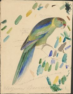 Barnards parakeet - graphite and watercolor drawing (32), via Flickr.