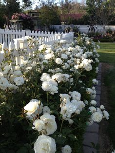 Hedge of White Iceberg Rose